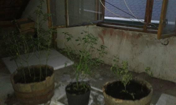 У Мукачеві чоловік виращував коноплю та марихуану