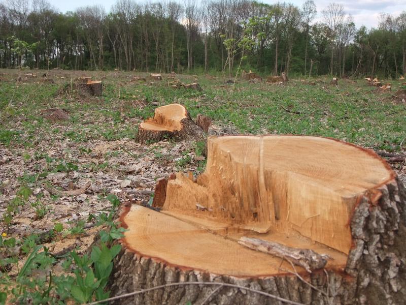 За незаконну рубку буку судитимуть «чорного лісоруба» Іршавського району