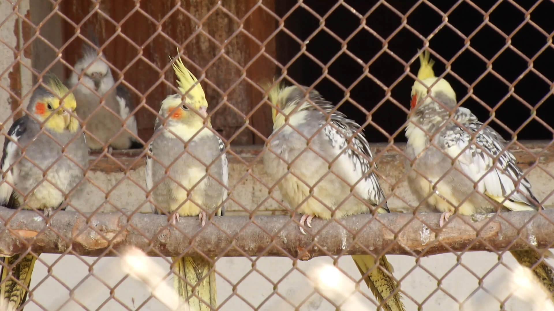 В Колочаві розводять екзотичних папуг (ВІДЕО)