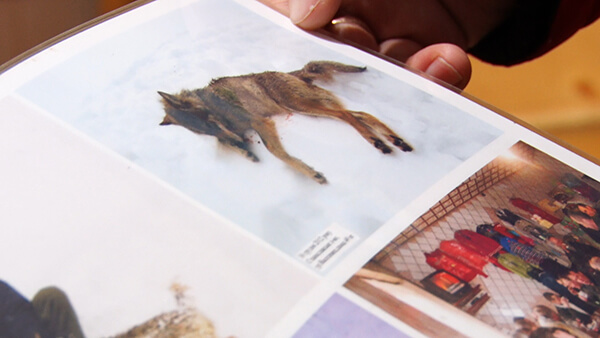 На Закарпатті мисливці пояснили причини масштабного полювання (ВІДЕО)