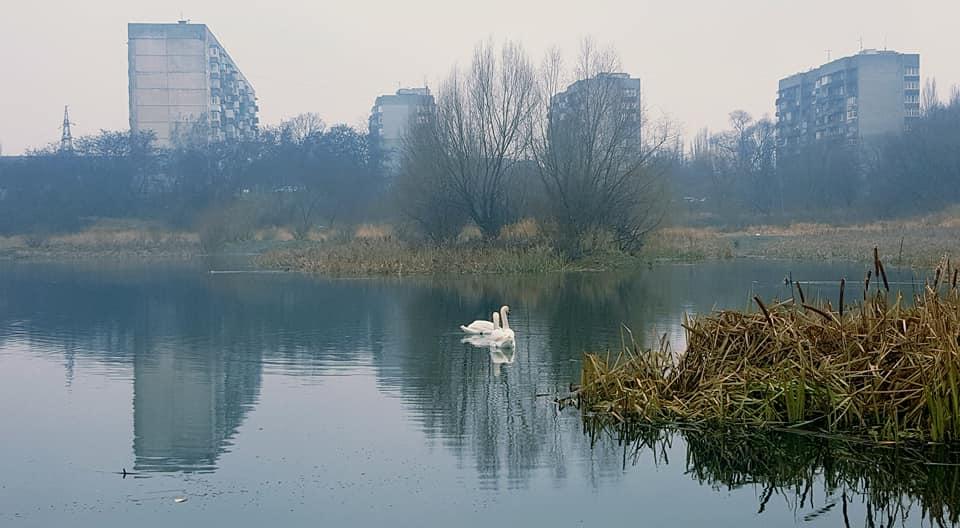 Білі лебеді в Ужгороді (ФОТО)