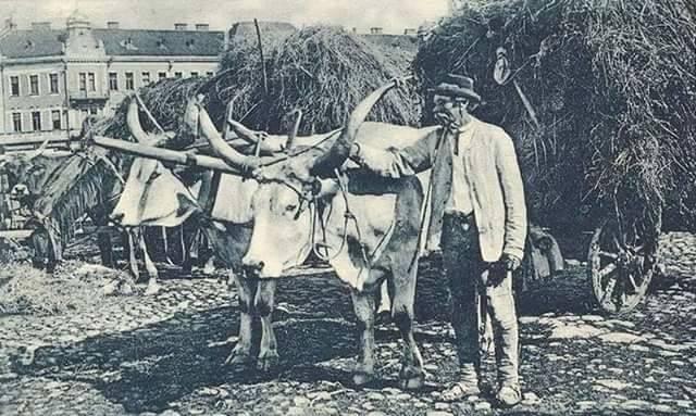 Фото з архіву: воли в Ужгороді