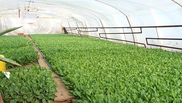 В Заріччі на Закарпатті вже зеленіють грядки (ФОТО)
