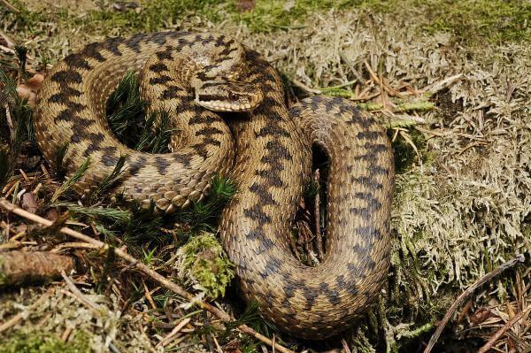 На Закарпатті змії почали кусати людей