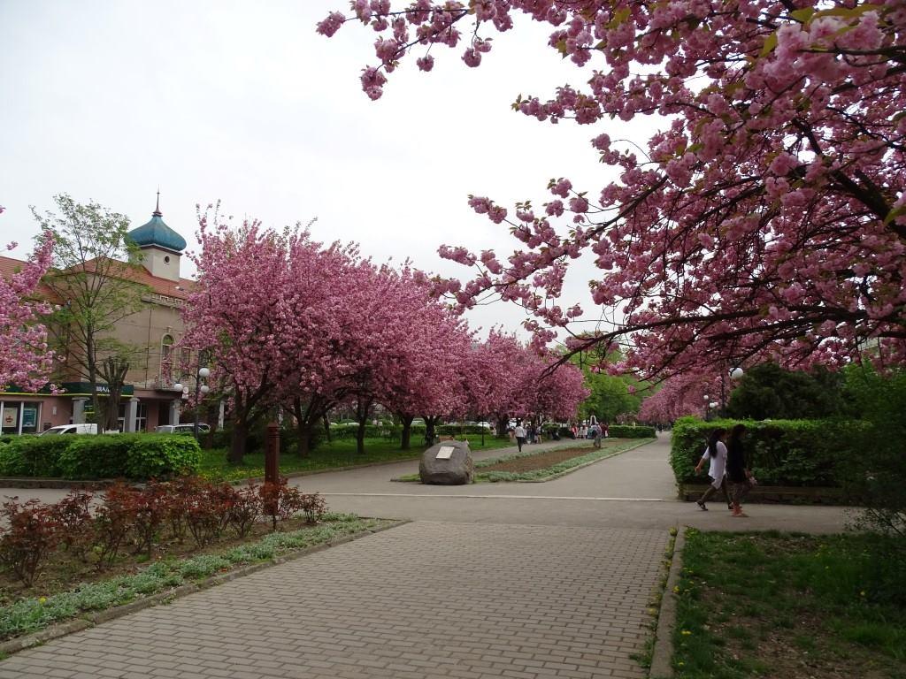 У Виноградові площа Миру вражає красою сакур (ФОТО)