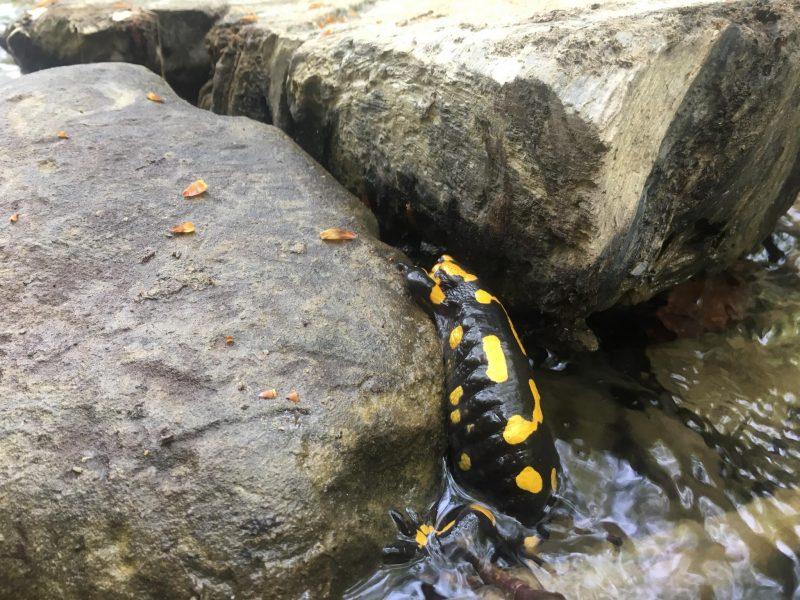 Чи знали Ви? На Закарпатті живуть одні з найбільш отруйних саламандр