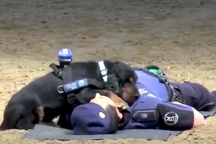 Зіркою мережі став пес – рятівник, зробивши масаж (ВІДЕО)