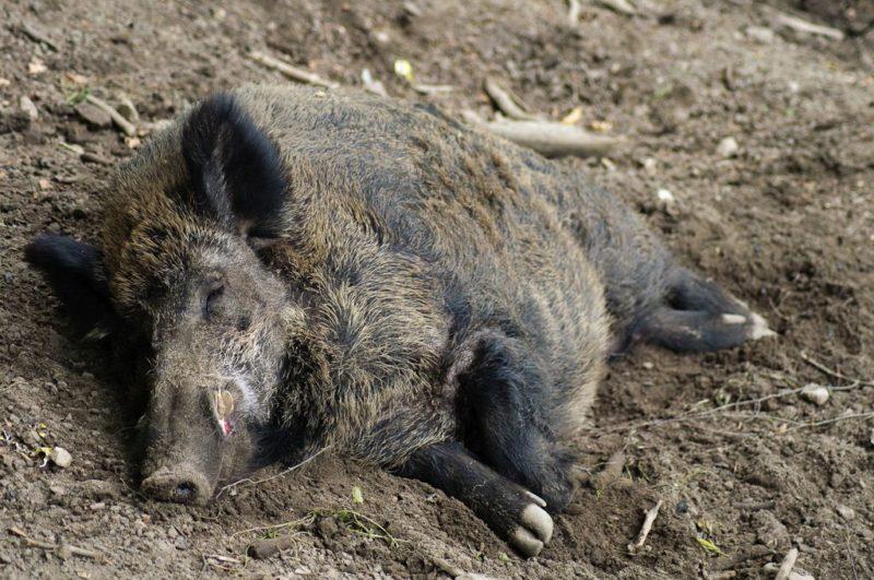 На Закарпатті знову виявили збудника африканської чуми свиней