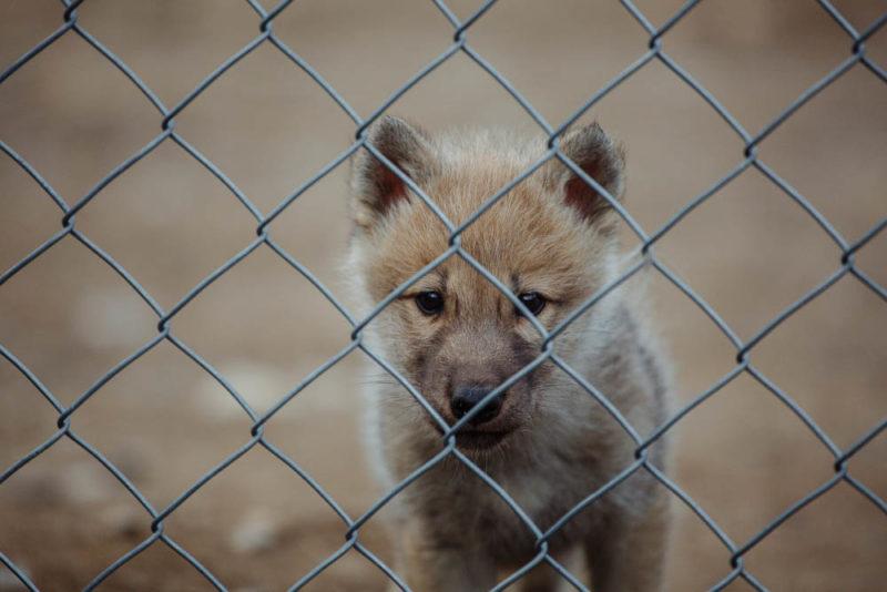На хижих вовків тепер можна подивитись в зоопарку Закарпаття (ФОТО)