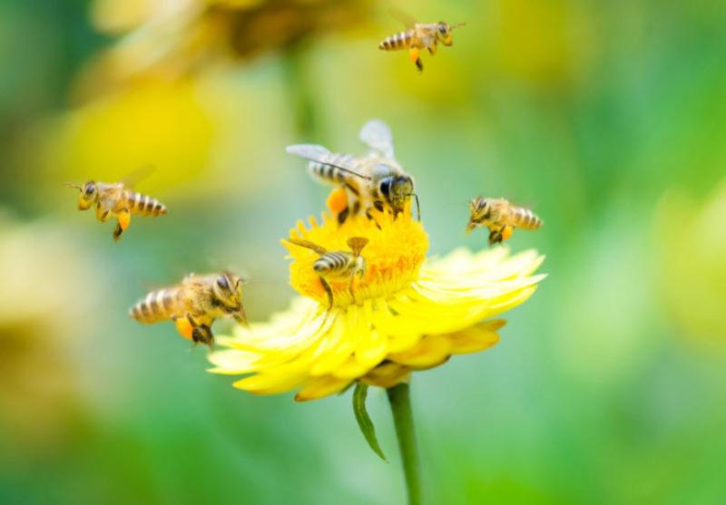 Бджола – найкорисніша на Закарпатті комаха