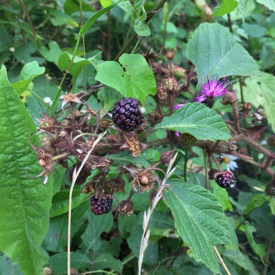 Сила чорної малини: на Закарпатті росте цілюща ягода (фото)