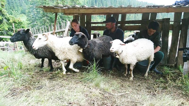 Вівчари розповіли, чому на Закарпатських полонинах не хворіють (ФОТО)