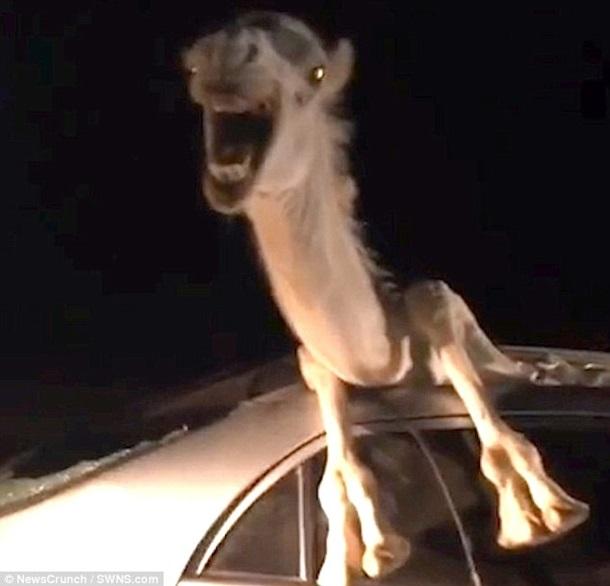 В Індії верблюд застряг в авто (ВІДЕО)