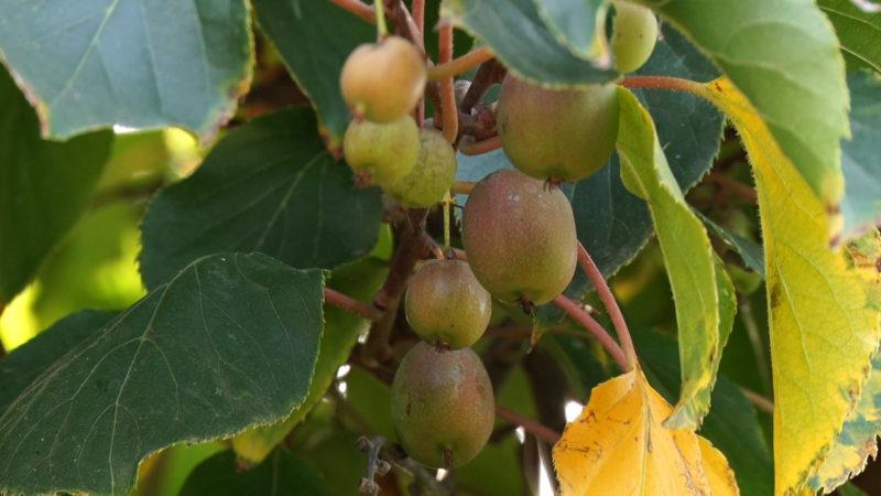 Тропічні фрукти на власному подвір'ї вирощує подружжя з Ужгорода (ВІДЕО)