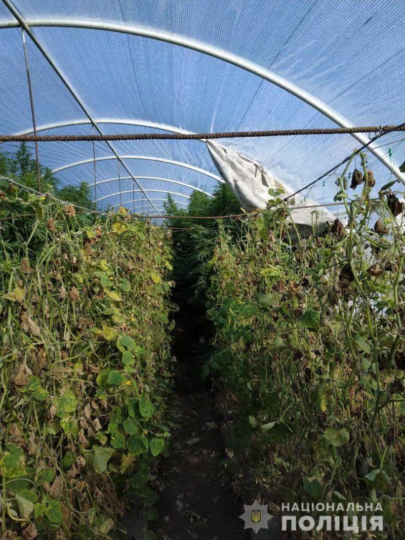 На Виноградівщині чоловік у теплиці виростив понад 100 кущів коноплі (ФОТО)