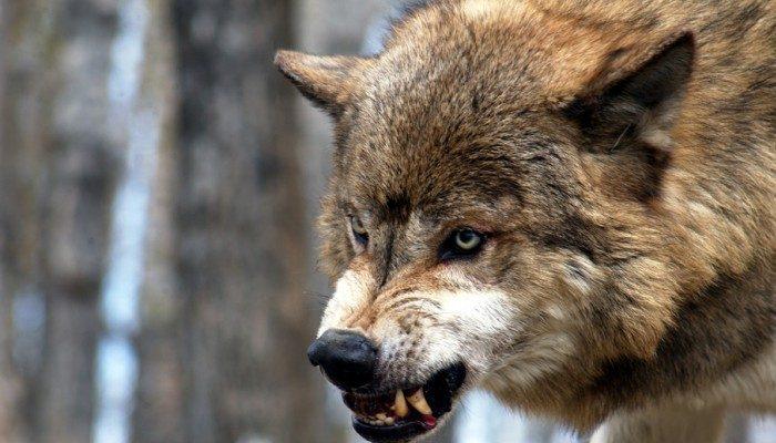 У Карпатах вовк напав на жінку