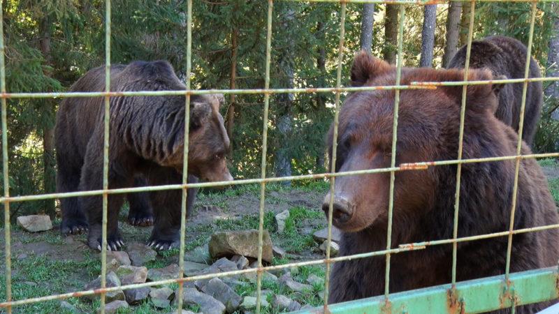 Ведмеді із реабілітаційного центру на Міжгірщині починають готуватися до зими (ВІДЕО)