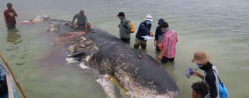 Шість кілограмів сміття у шлунку: в Індонезії знайшли померлого від пластику кита (Фото)