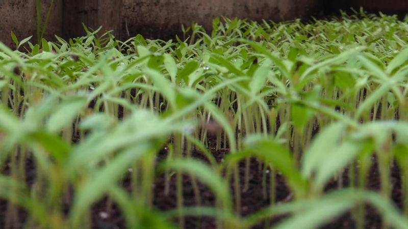 У теплицях села Боржавське на Виноградівщині зійшли саджанці томатів (ВІДЕО)