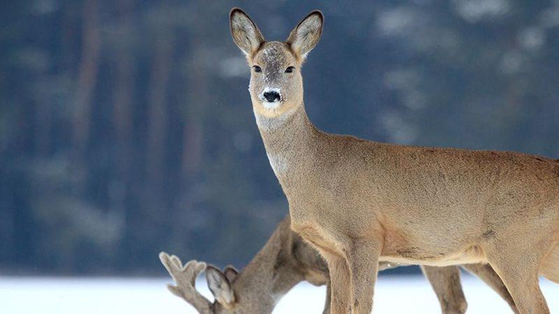 Сніжна зима: як виживають дикі тварини на Закарпатті? (ВІДЕО)