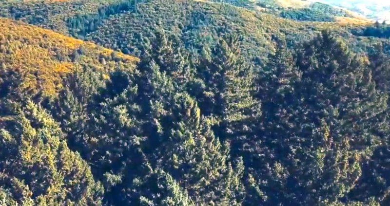 Дугласії: унікальні насадження на Перечинщині (відео)