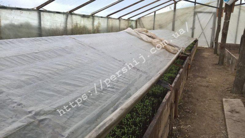 Готуй сани в літку, а урожай із зими: на Виноградівщині зійшли перші помідори (ФОТО)