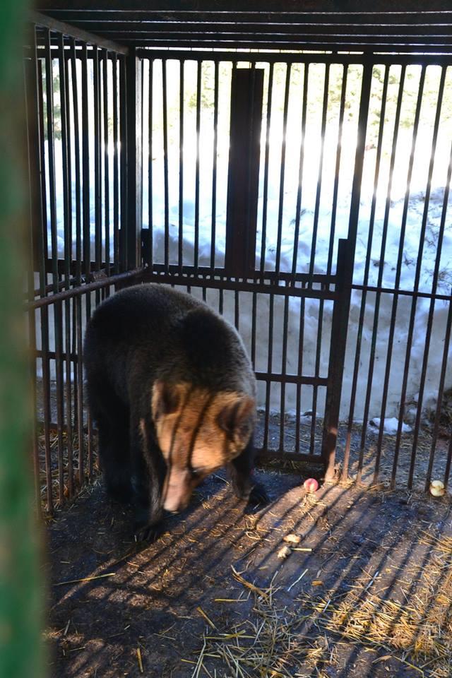 До Реабілітаційного центру бурих ведмедів  доправлено 5 клишоногих