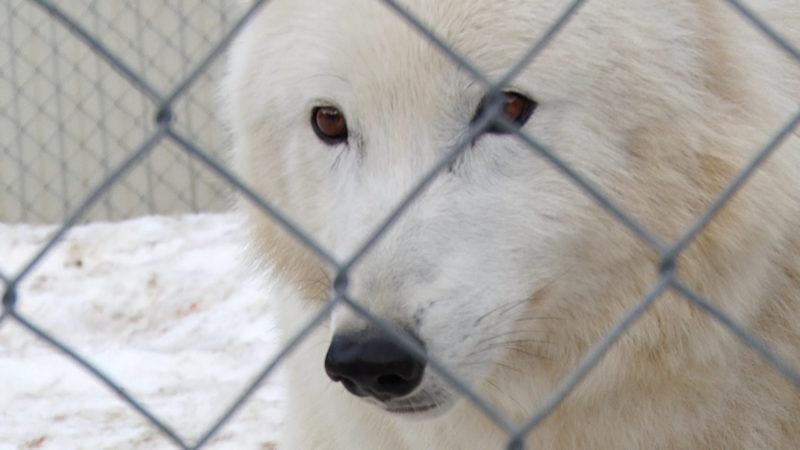 У Міжгірському еко-парку «Долина вовків» з'явилися нові мешканці (ВІДЕО)