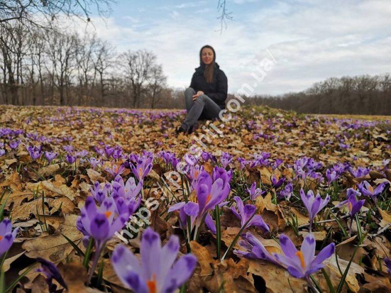 Шафран червонокнижний: весняне диво на Виноградівщині (ФОТО)