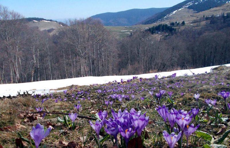 Весна завойовує полонину на Рахівщині (ФОТО)