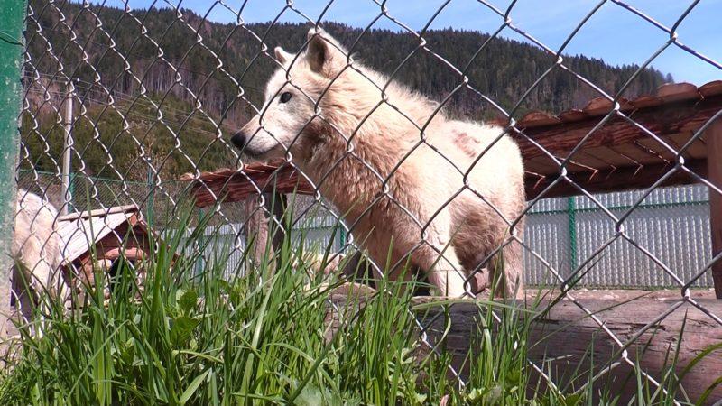 Держекоінспекція перевірила умови утримання вовків