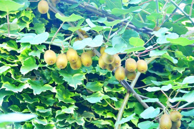 На Закарпатті вивели новий сорт нетипового для регіону екзотичного фрукта (ФОТО)