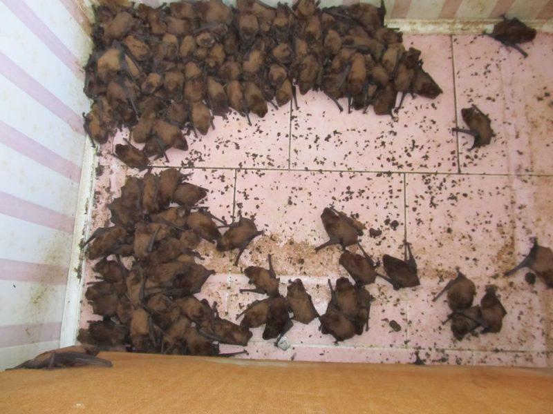 Моторошна знахідка: 1700 кажанів влаштувались для зимівлі на балконі (ФОТО)
