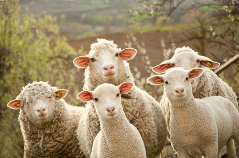 На Рахівщині вівці намагались перетнути кордон