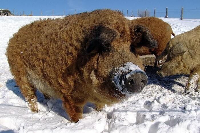 Тварини будуть знищені: чоловіка з'їли свині яких він розводив