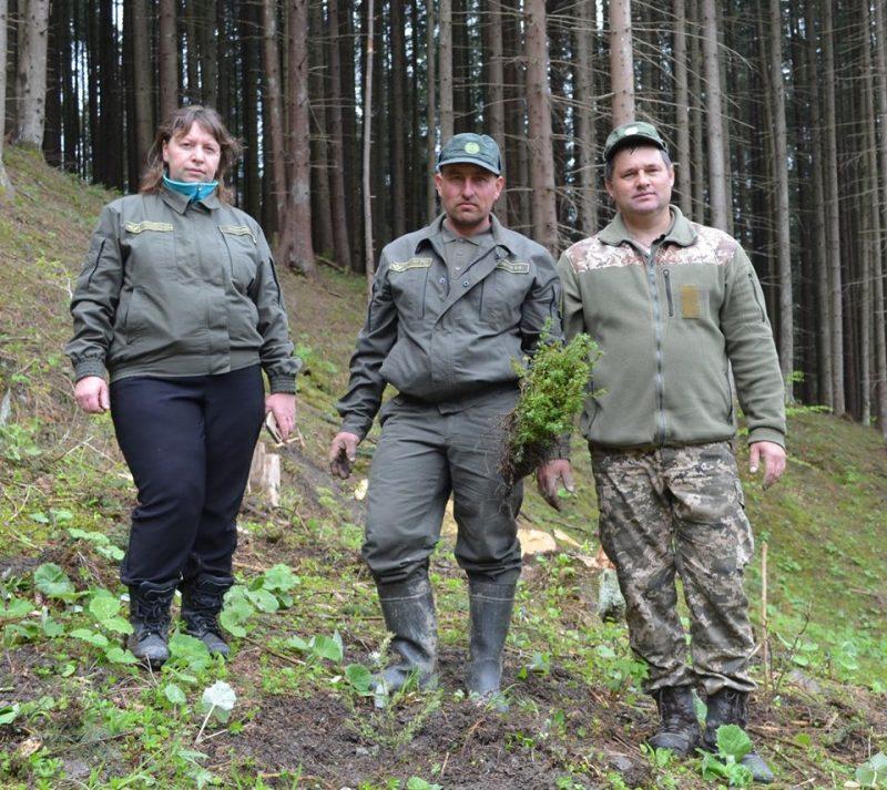 На Рахівщині відновлюють ліс: висадили 100 тисяч саджанців основних лісоутворюючих порід (ФОТО)