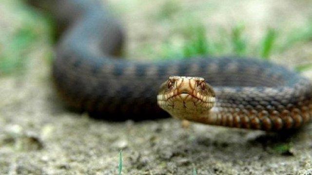 Змії атакують: на Закарпатті плазуни вкусили двох дітей